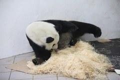 Mała panda urodziła się w zoo w Belgii. Zajmuje się nią mama Hao Hao