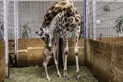 Mała żyrafa urodziła się w Opolu