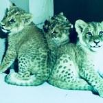"""Małe lwy przyszły na świat w gdańskim zoo. Tata - """"z kryminalną przeszłością"""""""