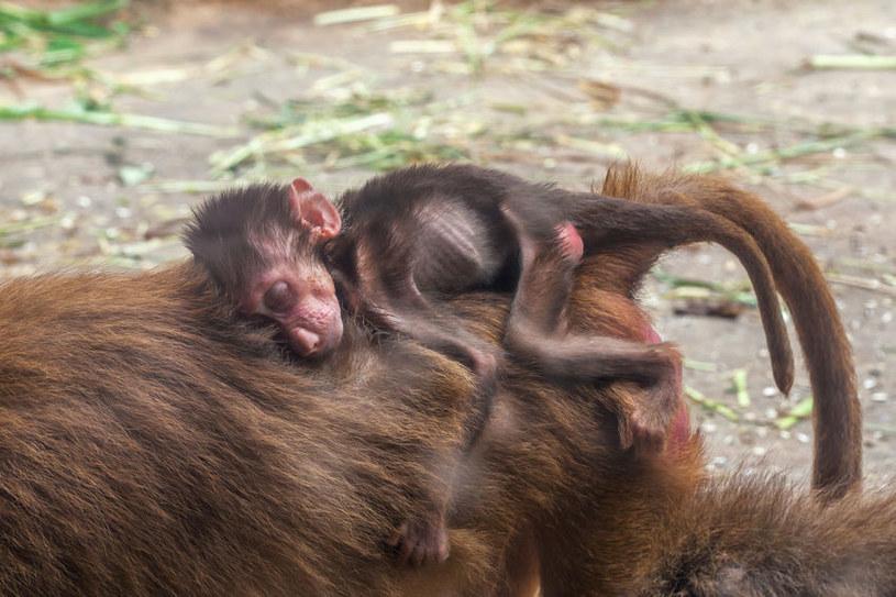 Małe małpki odzielone od matek, nie rozwijały się prawidłowo /123RF/PICSEL