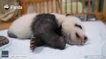 Małe pandziątko walczy z sennością