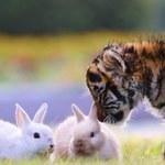 Małe tygrysy bawią się z królikami. Uroczy widok!