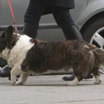 Małgorzata Foremniak na spacerze z psem za 2,5 tys. złotych!