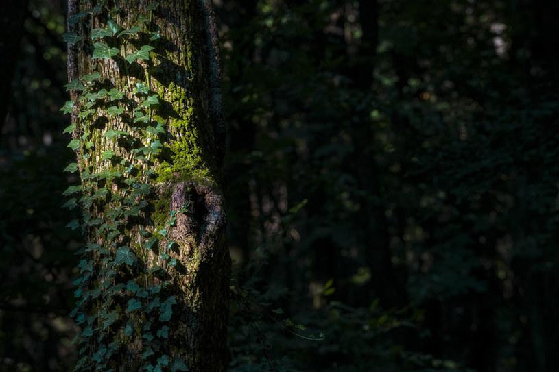 Mało kto wie, że bluszcz idealnie zadarnia podłoże /123RF/PICSEL