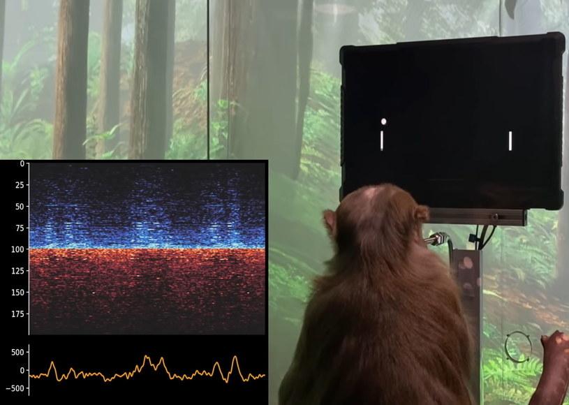 Małpa grająca mózgiem w grę Pong /Efectownia