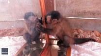 Małpka po raz pierwszy zobaczyła swoje odbicie w lustrze