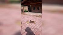 Małpka popycha żółwia. Chciała, żeby szedł szybciej