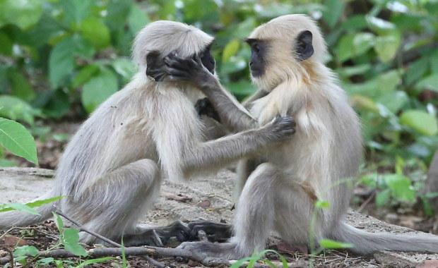 Małpy ukradły próbkę krwi pacjentów z Covid-19. Mieszkańcy boją się rozprzestrzenienia infekcji