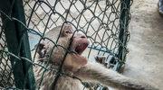 Małpy w metalowych uprzężach, krwawiące psy. Szokujący film z laboratorium pod Hamburgiem