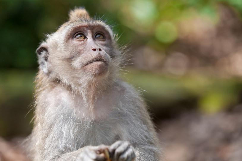 Małpy zyskują odporność po infekcji SARS-CoV-2 - podobnie może być u ludzi /123RF/PICSEL