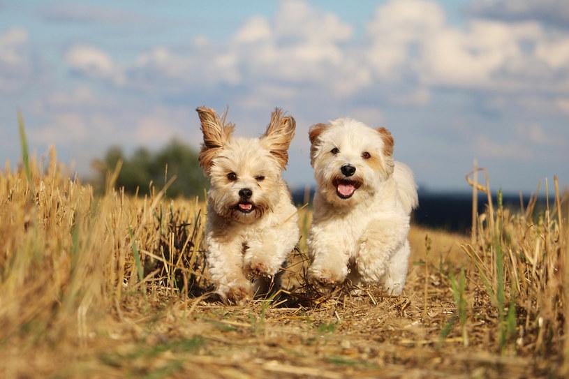 Maltańczyk to idealny pies z włosami dla dzieci /123RF/PICSEL