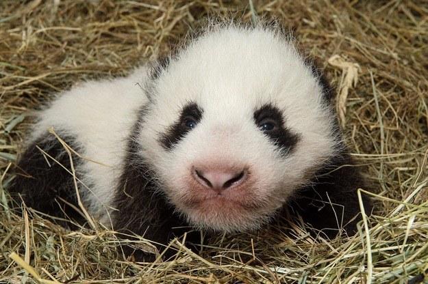 Malutka panda /DANIEL ZUPANC /PAP/EPA
