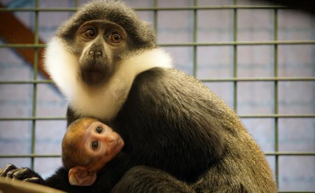 Malutki koczkodan górski nowym mieszkańcem wrocławskiego zoo