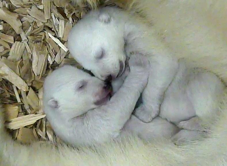 Malutkie niedźwiedzie polarne /TIERPARK HELLABRUNN HANDOUT /PAP/EPA