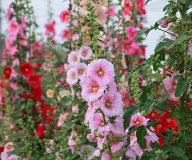 Malwa: Bujnie kwitnie całe lato. Jak ją pielęgnować? Gdzie i kiedy sadzić?