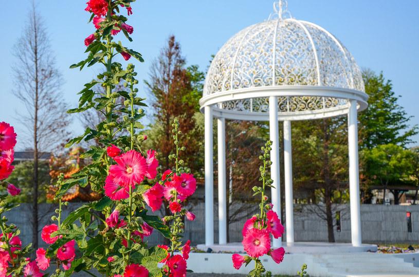 Malwa idealnie pasuje do ogrodów naturalistycznych, wiejskich, rustykalnych i romantycznych /123RF/PICSEL