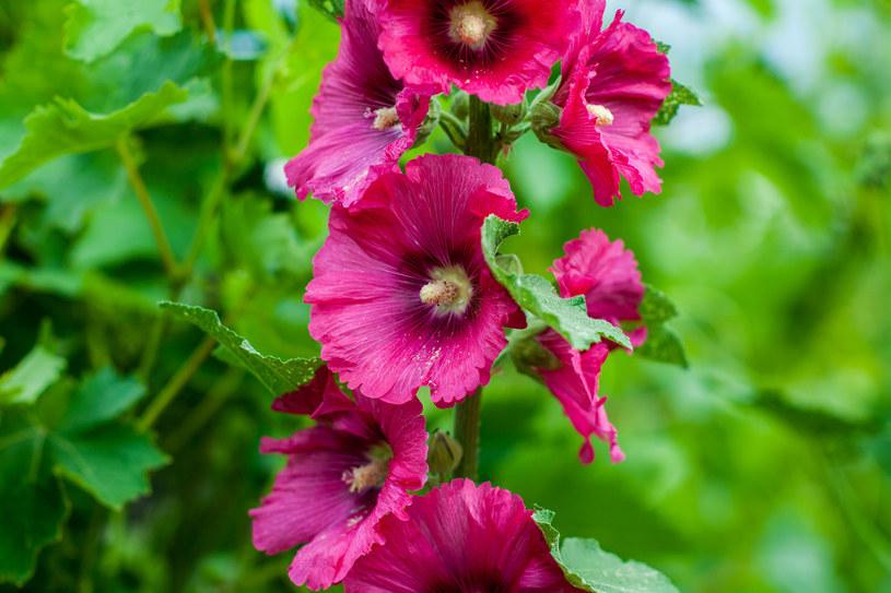 Malwa może mieć różne kolory i formy kwiatów /123RF/PICSEL