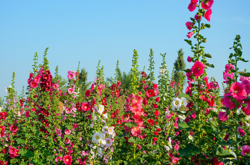 Malwa nie jest rośliną wymagającą /123RF/PICSEL