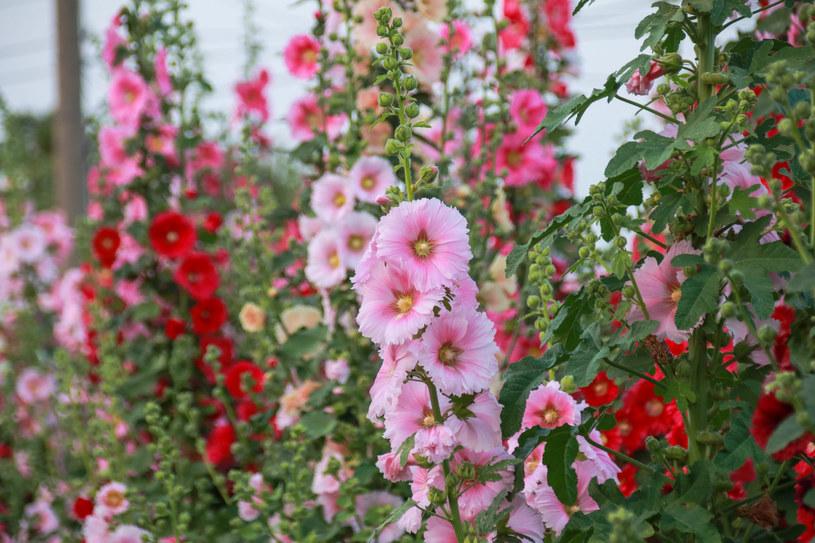 Malwa zdobi ogród aż do jesieni. Jak ją pielęgnować i gdzie sadzić? /123RF/PICSEL