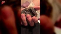 Mały gołąb znalazł opiekuna. Urocze