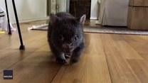 Mały wombat biegnie do nowej właścicielki