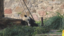 Mama-panda uczy malucha posłuszeństwa