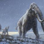 Mamuty wrócą na Syberię? Nie mamuty, a ich imitacja
