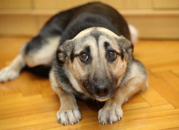 Mamy sposób na lękliwego psa /123RF/PICSEL