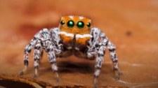 Maratus nemo. Odkryto gatunek bajkowego pająka