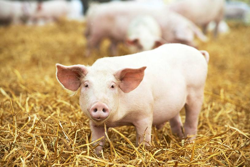 Marian C. i jego córka Urszula ukradli 884 świnie? /123RF/PICSEL
