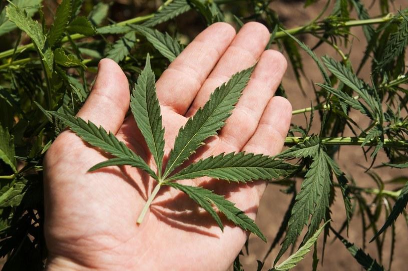 Marihuana /123RF/PICSEL