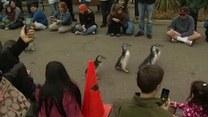 Marsz pingwinów w San Fransisco