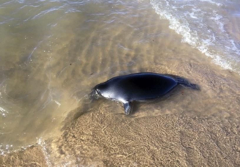 Martwa foka bajkalska. Władze sprawdzają przyczyny pomoru /Oleg Machullskiy/Associated Press /East News