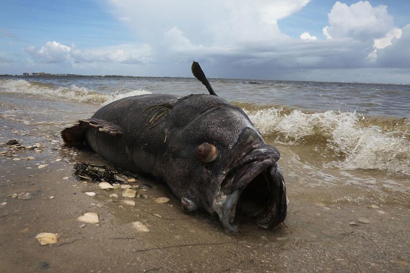 Martwa ryba zauważona w Sanibel na Florydzie /GETTY IMAGES NORTH AMERICA JOE RAEDLE /AFP