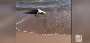 Martwe foki na polskim wybrzeżu. Zauważyła je turystka