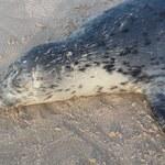 Martwe foki wyrzucane na bałtyckie plaże. Nie wiadomo, dlaczego giną