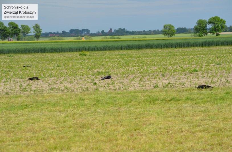 Martwe ptaki na polu w Wielowsi /facebook.com