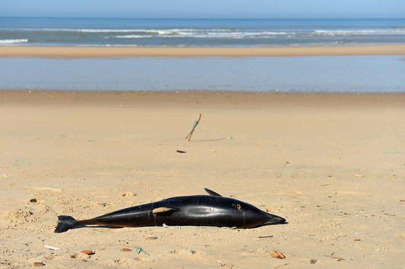 Martwy delfin; zdj. ilustracyjne /NICOLAS TUCAT/AFP /East News