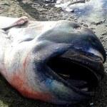Martwy rekin wielkogębowy na filipińskiej plaży