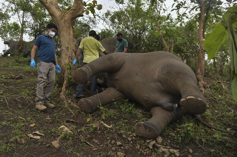 Martwy słoń znaleziony w Indiach /Biju BORO / AFP /AFP