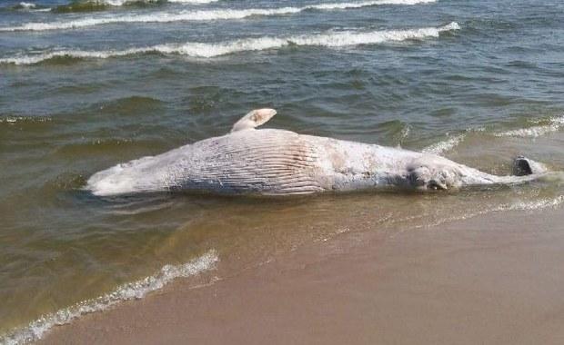Martwy wieloryb na plaży na Mierzei Wiślanej. Ma 6-7 m długości