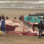 """Martwy wieloryb na plaży w Belgii. """"Był wynędzniały, z ranami na ciele"""""""