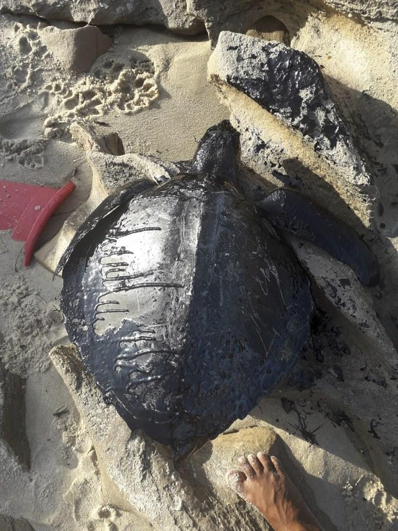 Martwy żółw pokryty ropą na jednej z brazylijskich plaż /Instituto Verdeluz/Associated Press /East News
