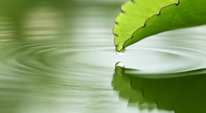 Maść pozyskuje się z liści żyworódki /©123RF/PICSEL