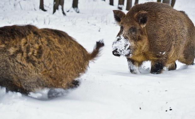 Masowe polowania na dziki odbędą się w 8 województwach