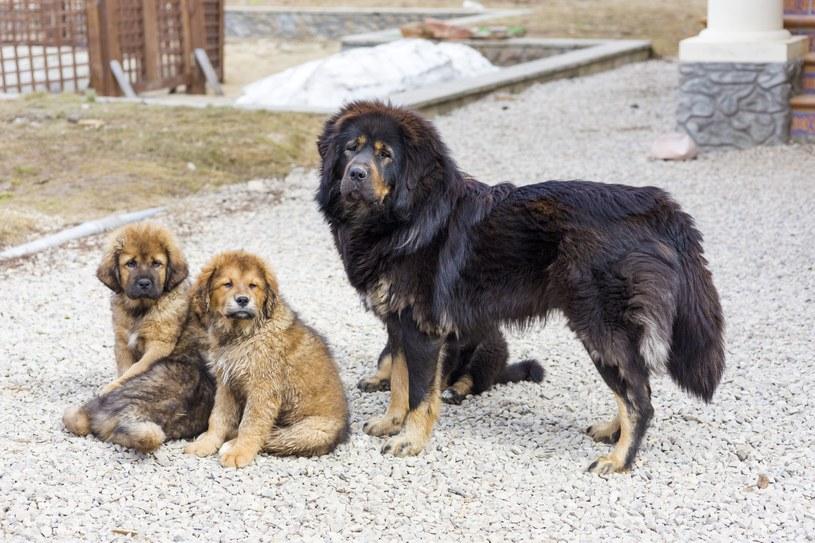 Mastif tybetański z rodziną /123RF/PICSEL