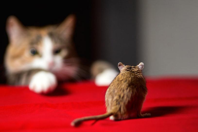 Masz mruczka w domu? On pomoże pozbyć się panoszących po domu szczurów /123RF/PICSEL