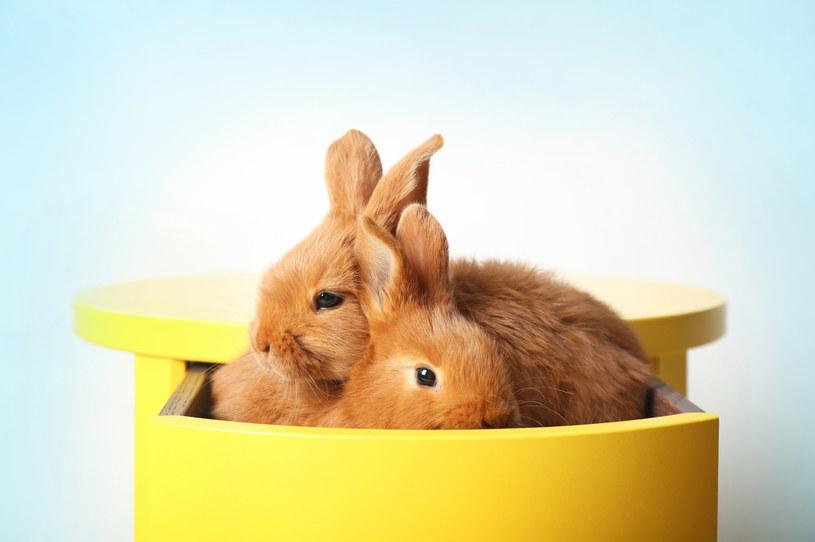 Masz więcej królików? Rozdziel zwierzęta, gdy jedno ma pchły /123RF/PICSEL