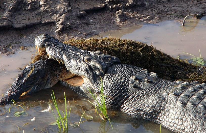 Maxi na oczach pasażerów statku rozprawił się z mniejszym krokodylem /AFP