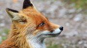 Mazowieckie: Rozpoczynają się jesienne szczepienia lisów